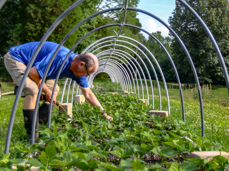 Photo by Greg Eans, Messenger-Inquirer.com | geans@messenger-inquirer.com<br /> <br /> Kenny Davis pulls weeds from a patch of green beans at Golden Red Sunflower Produce Farm in Pleasant Ridge.
