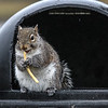 Squirrel eating french fries