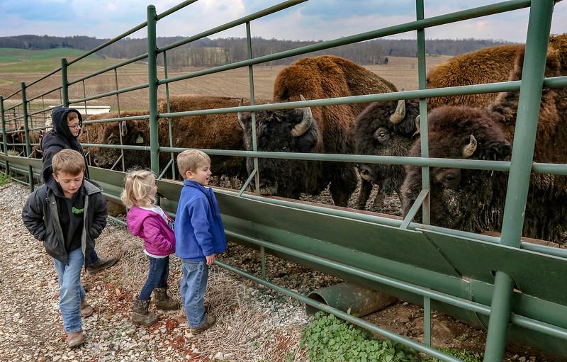 Buffalo Style: Ohio County farm family raising bison