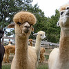 Photo by Greg Eans, Messenger-Inquirer.com/geans@messenger-inquirer.com<br /> <br /> Lila, left, and Breeze wait behind the barn for dinner with other alpacas owned by Tom and Rita Troost on their farm in Utica, Ky.
