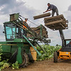 Photo by Greg Eans, Messenger-Inquirer.com/geans@messenger-inquirer.com<br /> <br /> Armando Olague pitches a stack of tobacco stakes onto a High Boy tractor as Noah Roman, left, and Pedro Mendiola help to prepare the machine to drop the stakes in a field off of Haycraft Road on August 15, 2016. The three will come back to the field in a few weeks to cut and stake the tobacco.