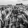 Photo by Greg Eans, Messenger-Inquirer.com/geans@messenger-inquirer.com<br /> <br /> Farmer Paul Scherm walks along a row of experimental tobacco plants on his farm in Daviess County, Ky, on Aug 30, 2017. The plants are experimental varieties he is growing for the R. J. Reynolds tobacco company.
