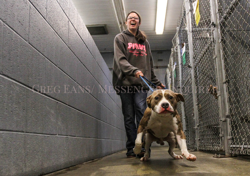 Photo by Greg Eans, Messenger-Inquirer.com/geans@messenger-inquirer.com<br /> <br /> Amber Williams, a volunteer with the Daviess County Animal Shelter, holds on to McCally, a Pit bull at the shelter, as she takes him out for a walk on the property.