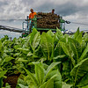 Noah Roman, left, and Armando Olague ride atop a High Boy tractor while setting out tobacco stakes in a field on Haycraft Rd. on Monday, Aug. 15, 2016, in Owensboro, Ky. (Greg Eans/The Messenger-Inquirer via AP)