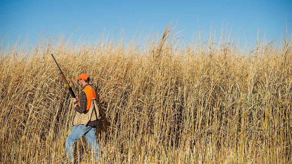 Chris Holborn walks along tall grass in hope of flushing out pheasants during a hunt Northeast of Garden City Sunday.
