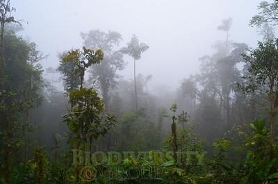 Cloud forest habitat of the Tandayapa Andean Toad (Andinophryne olallai), Manduriacu, Imbabura Province, Ecuador. These amazing forests, which are home to a variety of threatened species,  are quickly disappearing as a result of anthropogenic activities in the region.