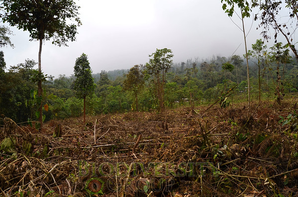 Recently deforested cloud forest that is less than 1 km from the only known Tandayapa Andean Toad (Andinophryne olallai) population, Manduriacu, Imbabura Province, Ecuador. Logging activities in the region are quickly approaching the Tandayapa Andean Toad population.