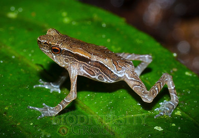 An article published in the journal Amphibian & Reptile Conservation by a team of U.S. and Ecuadorian scientists contains the first information on juvenile Tandayapa Andean Toad (Andinophryne olallai) natural history and appearance. Juveniles, unlike adults, are heavily patterned, more colorful, and have brilliant red eyes.  PDF article found here: http://amphibian-reptile-conservation.org/issues.html
