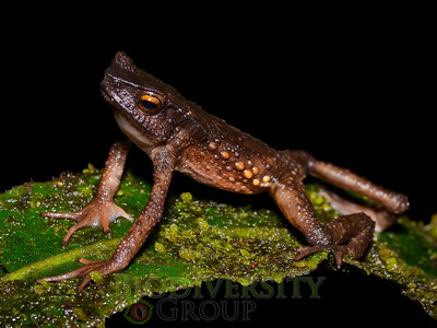 An adult Tandayapa Andean Toad (Andinophryne olallai) from Manduriacu, Imbabura Province, Ecuador. This individual was the first record of the species since the original species description in 1970.