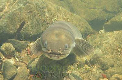 A tuna (longfin eel) underwater. Copyright Alton Perrie.