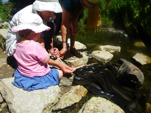 A youngster learning early to care for her local eels. Copyright Amber McEwan.