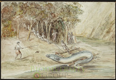 This T.W. Downes watercolor depicts a giant eel at Tangahoe and shows how great a part longfin lore is to New Zealand's cultural heritage. Courtesy Alexander Turnbull Library.