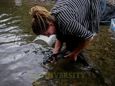 New Zealand freshwater researcher, Amber McEwan, gently studies a longfin. Copyright Alton Perrie.