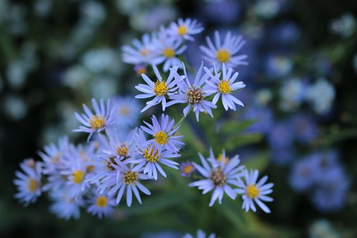 Asters in the Herbaceous Borders of the Dumbarton Oaks Gardens