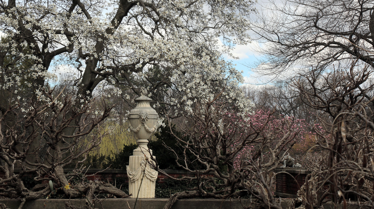 Flowering trees over the Urn Terrace at Dumbarton Oaks