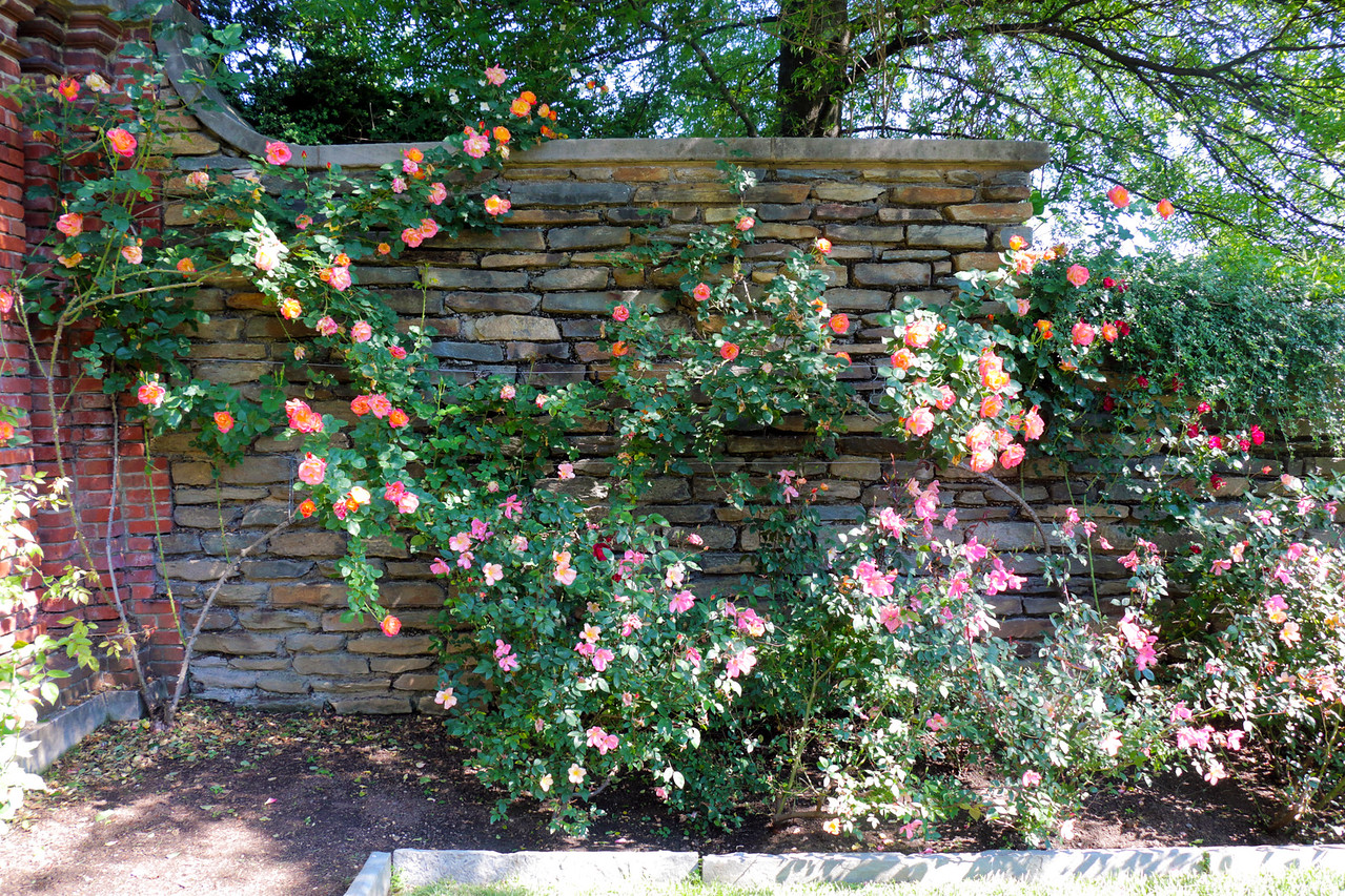Wall of roses in the Rose Garden of the Dumbarton Oaks Gardens.