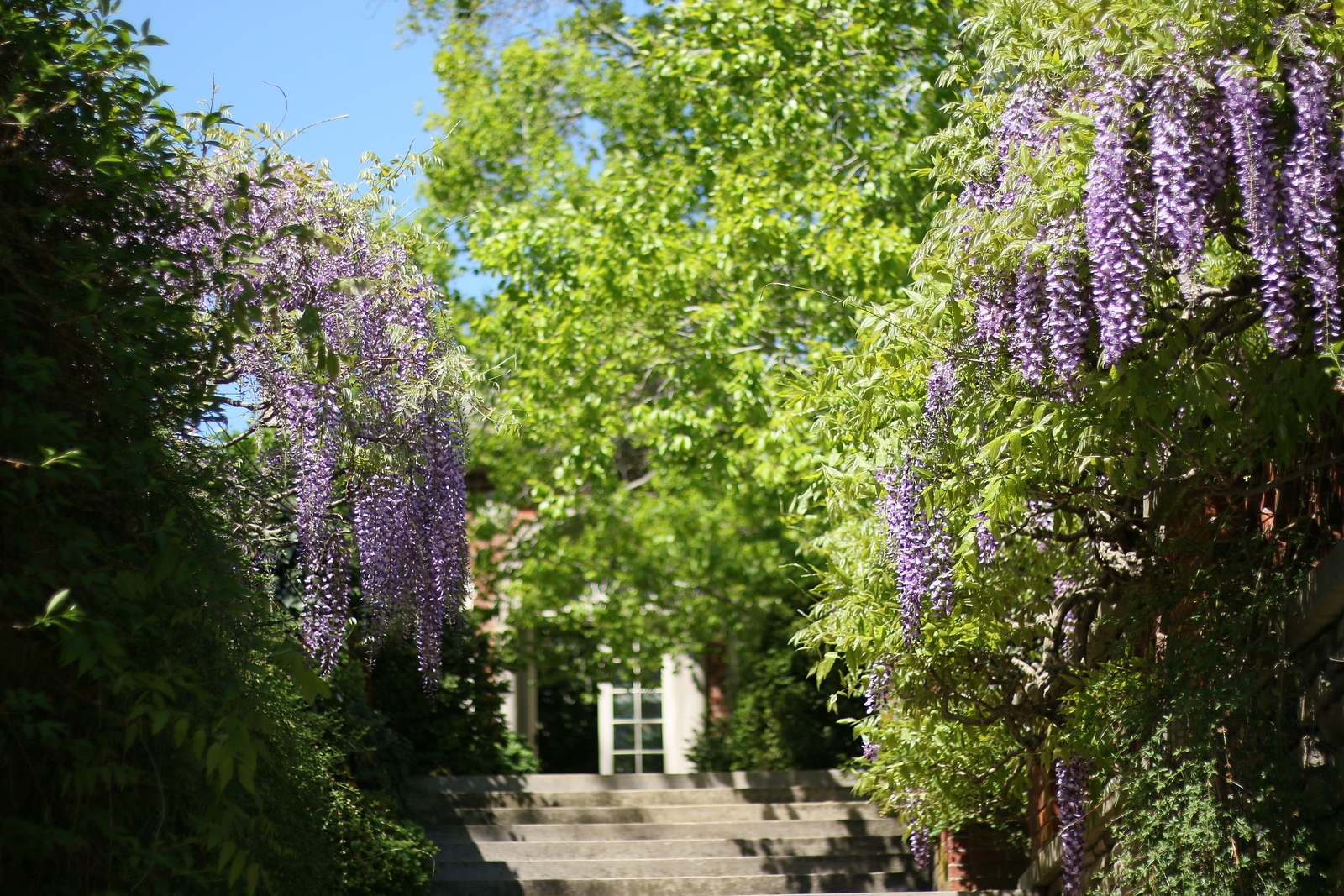 Wisteria by the Urn Terrace looking toward the Orangery