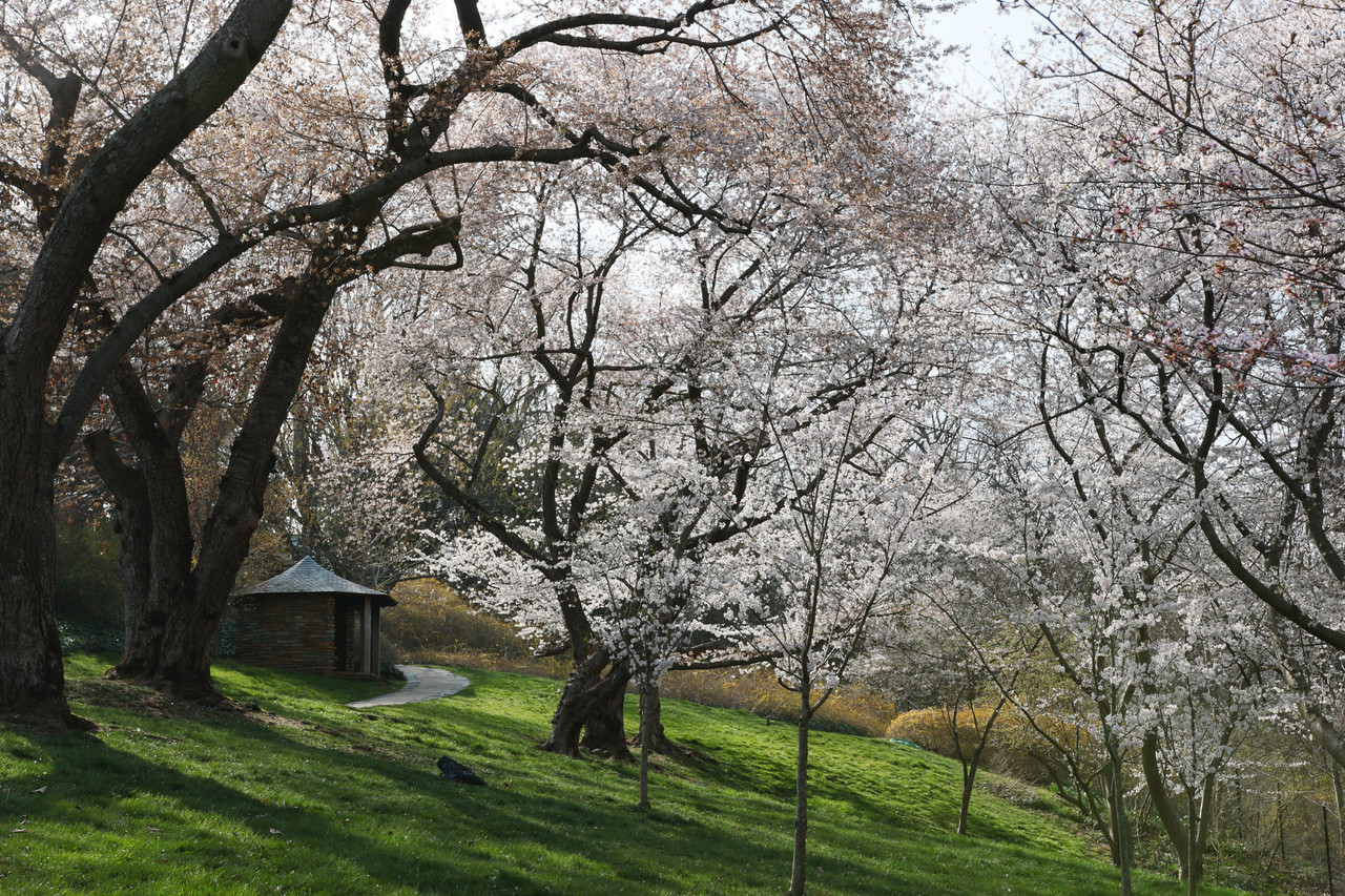 Cherry Hill in blossom