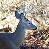 white-tailed_deer.jpg