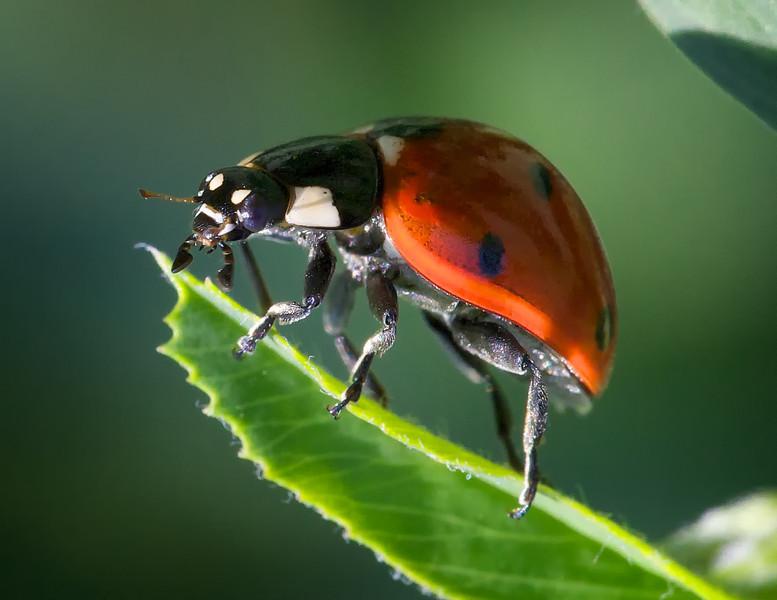 Coccinella septempunctata (C7) lady beetle on alfalfa