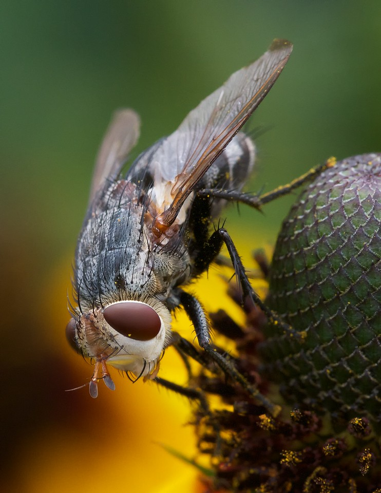Fly on composite flower. Probably Pelteria robusta.