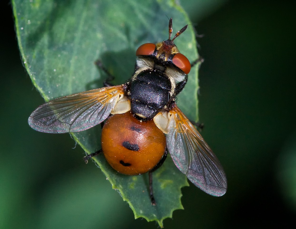 Tachinidae, Genus Gymnosoma, 2014.
