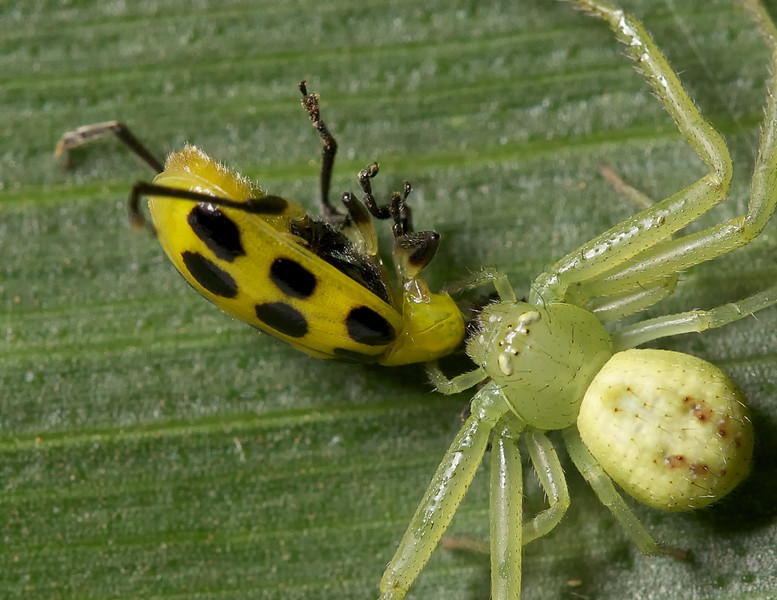 crab spider feeding on a southern corn rootworm beetle (12-spotted cucumber beetle).
