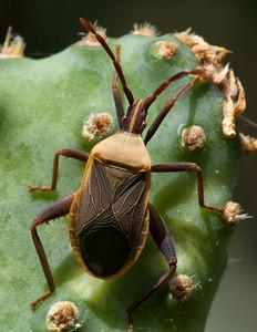 Chelinidea vittiger on cactus 2014