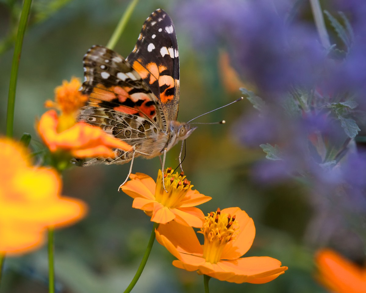 Painted lady butterfly (Lepidoptera Family Nyphalidae Genus Vanessa)
