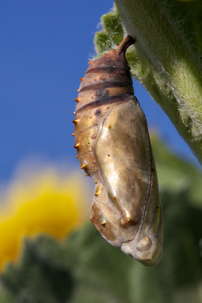 painted lady pupa Pat Porter
