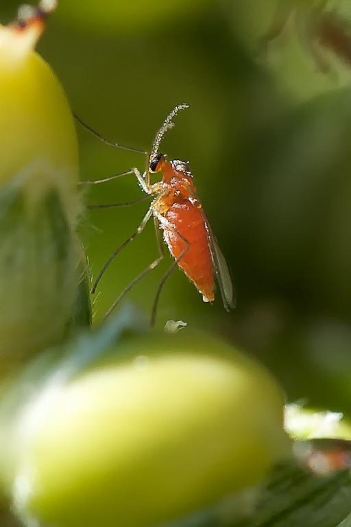 Another view of a sorghum midge (Contarinia sorghicola) adult.