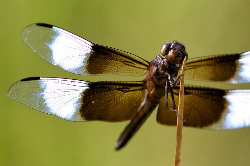 Libellula luctuosa, widow skimmer