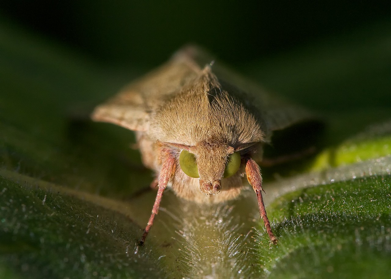 Corn earworm moth (Lepidoptera, Family Noctuidae, Helicoverpa zea). This moth is also called the cotton bollworm and the tomato fruitworm.