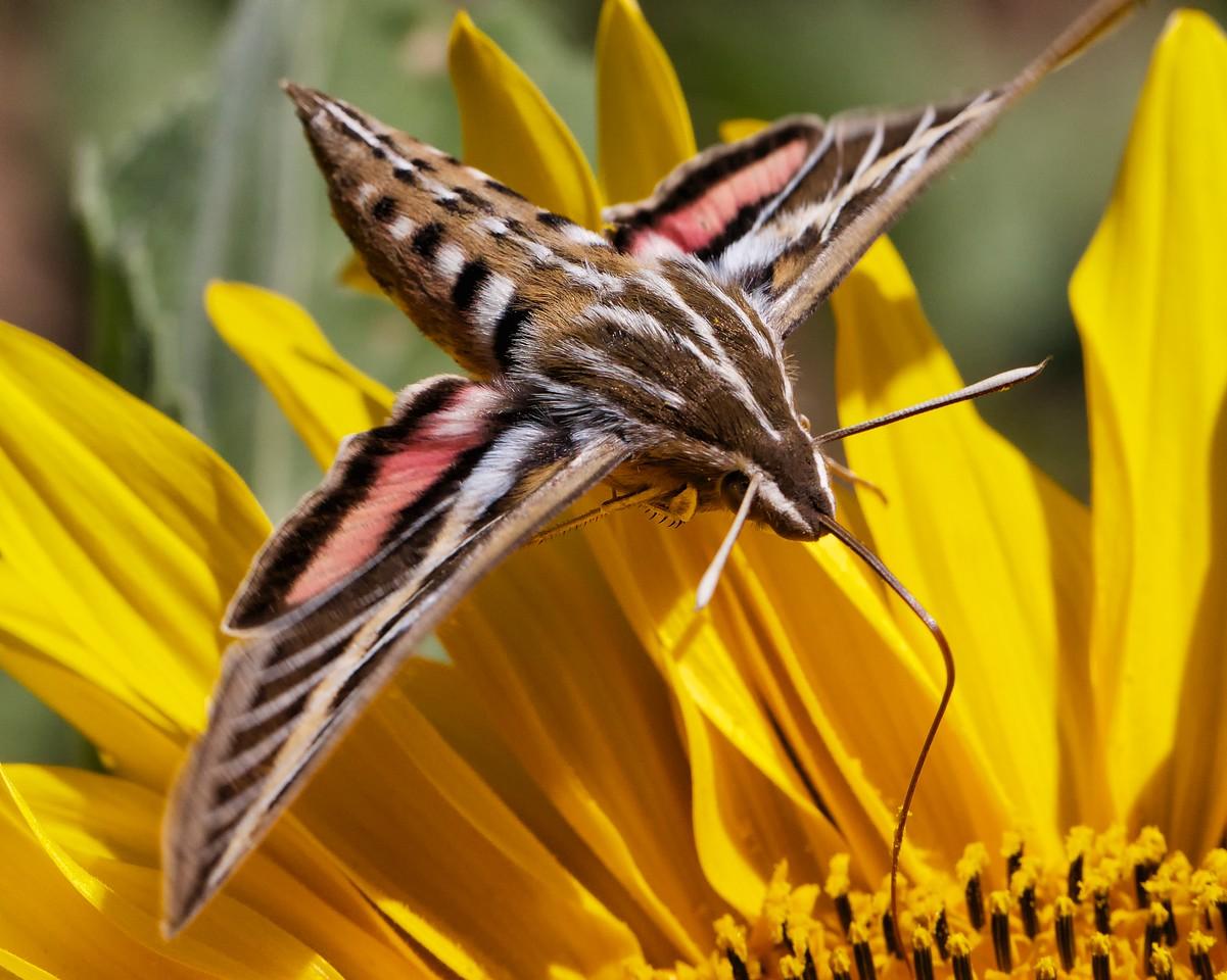 Whitelined sphinx moth hovering