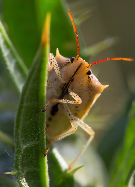 The Rice Stinkbug glamour shot.