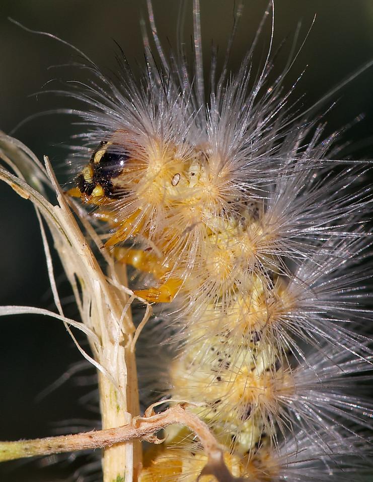 yellow woollybear caterpillar in early morning sunlight