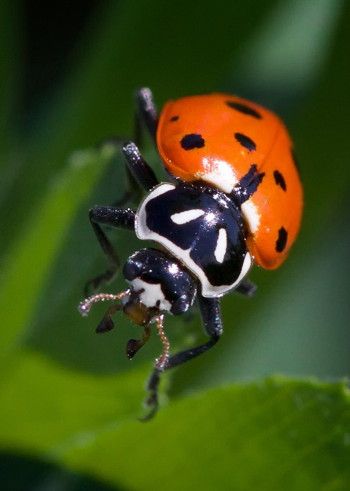 convergent lady beetle 2014