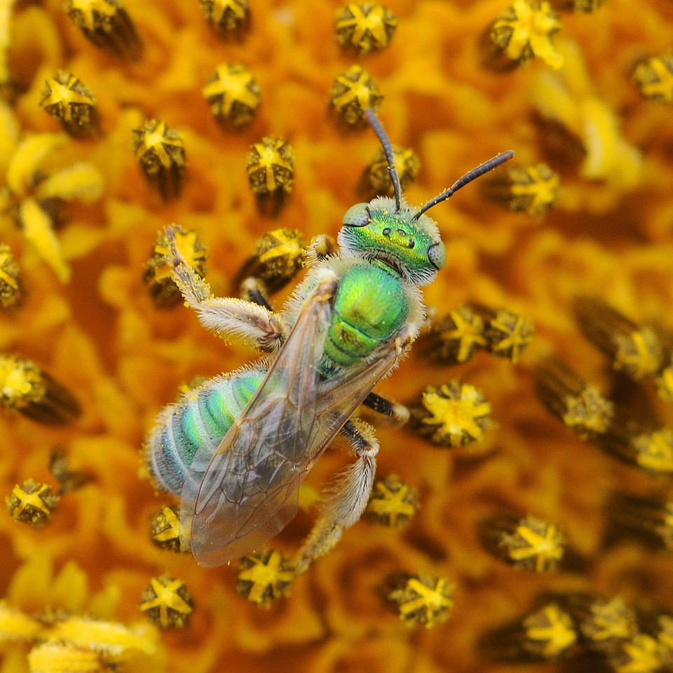 Halictid bee (Hymenoptera Family Halictidae) on sunflower. Many species of Halictids are iridescent metallic in color.