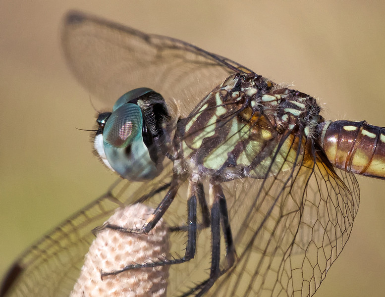 Dragonfly eyes and flight