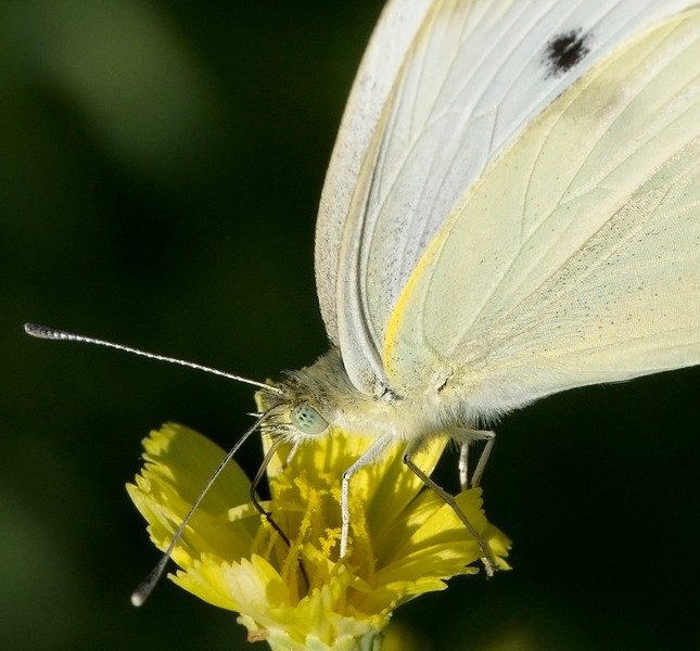 Cabbage butterfly 2018