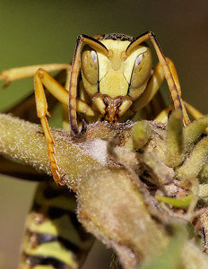 Polistes wasp feeding on sap
