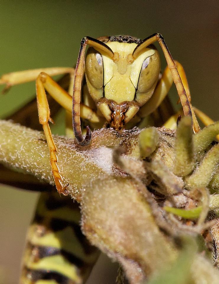 Polistes wasp feeding on sap