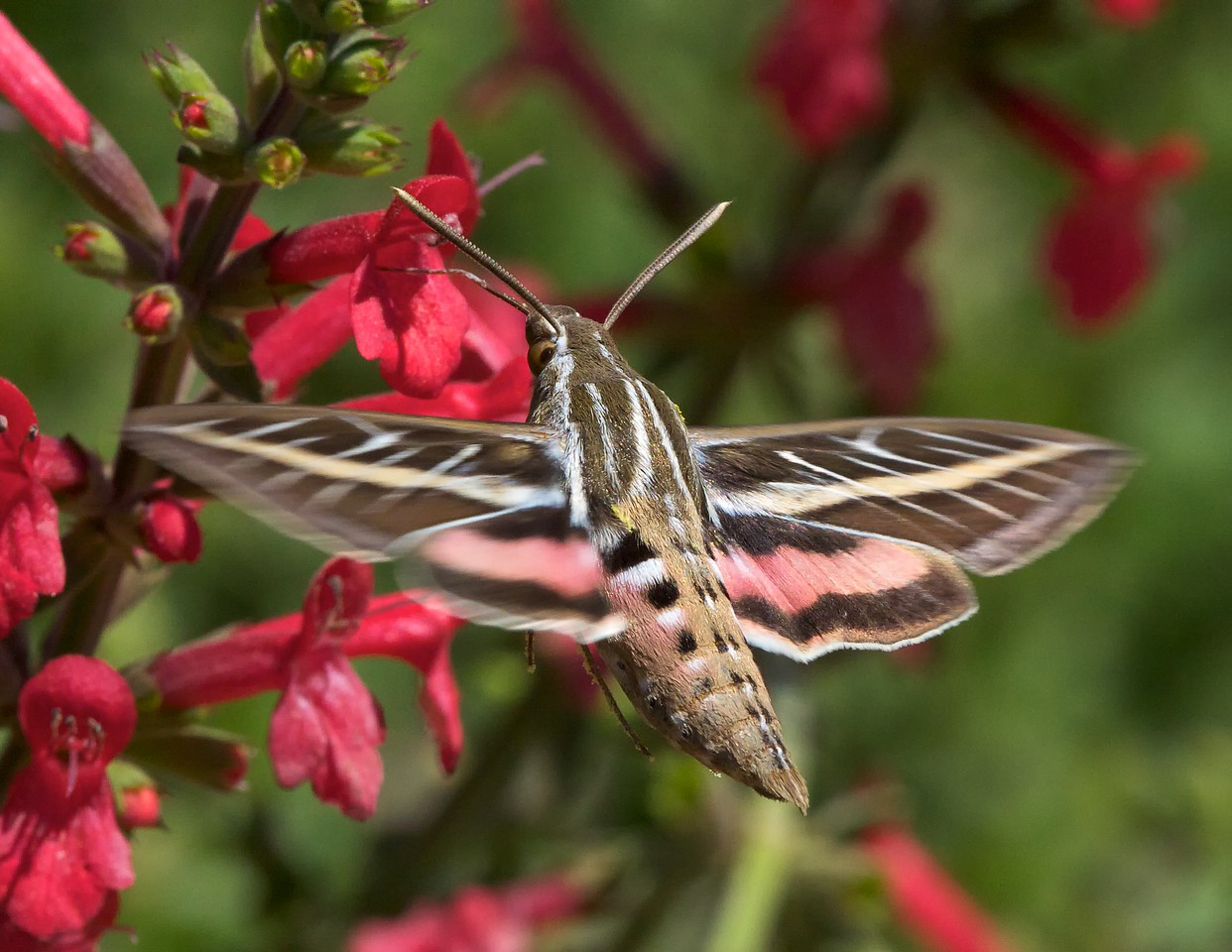 1/1600 second was not enough to stop the motion of this sphinx moth's wings. I am including this less than stellar photo because the mouthparts are visible. Sphinx moths, and almost all other moths, have a coiled proboscis that they unfurl to drink liquids and nectar from flowers. The proboscis is visible just below the left antenna.