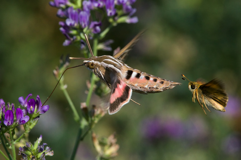white-lined sphinx moth and skipper in alfalfa 2014