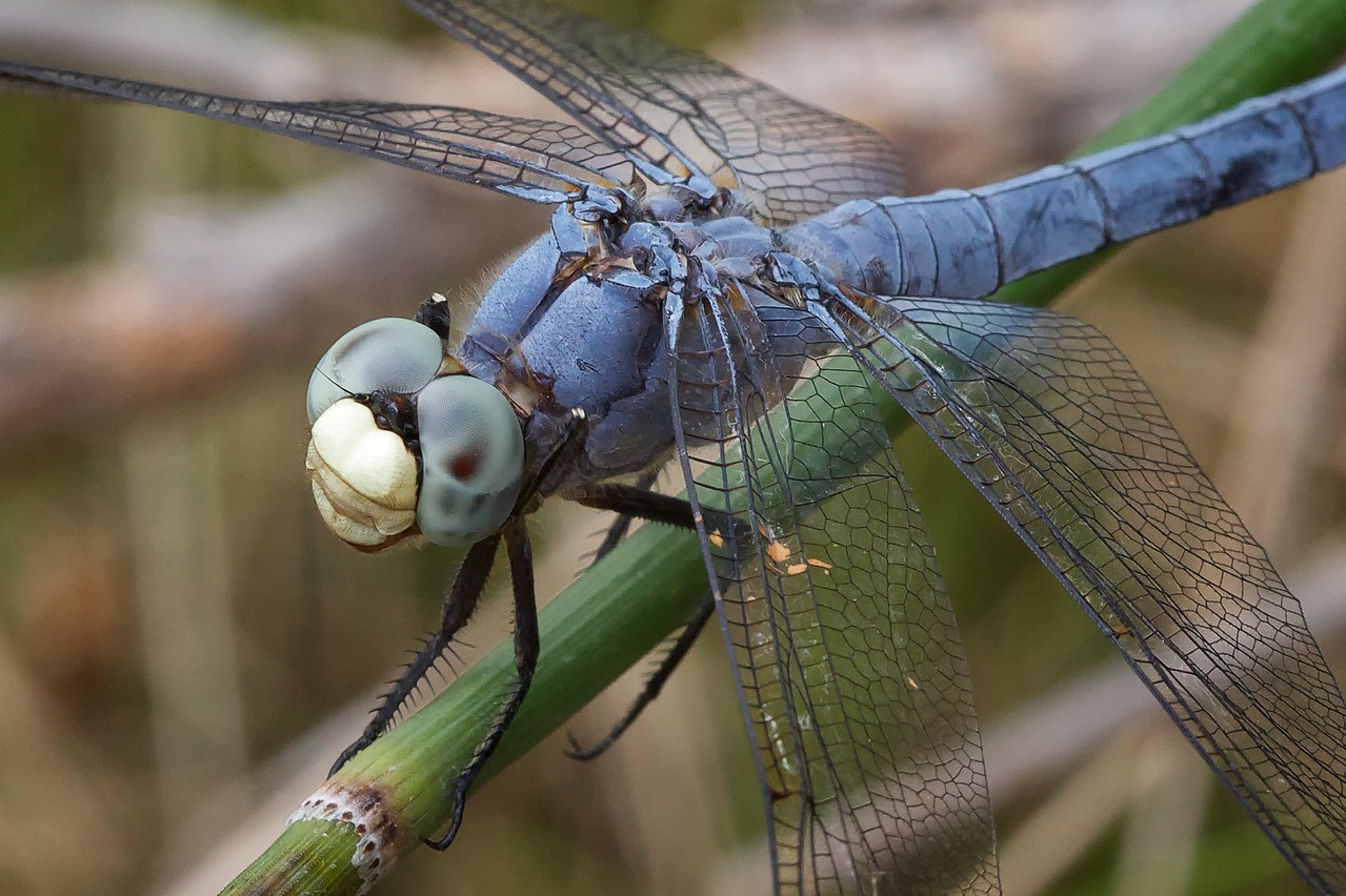 Just another perched dragonfly. The Texas Tech dragonfly expert identified this as the Comanche Skimmer (Libellula comanche).
