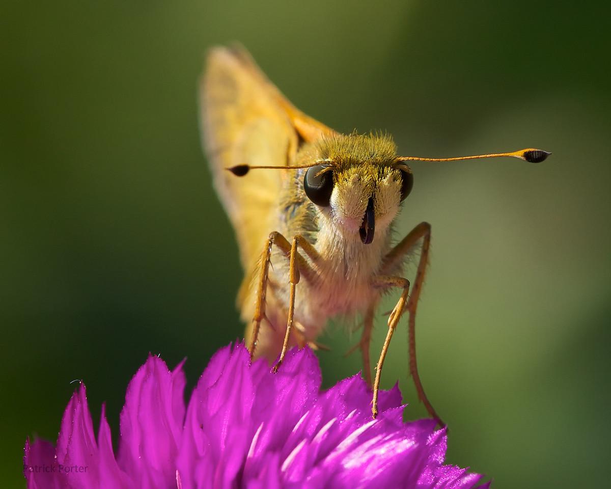 Skipper (Lepidoptera: Hesperiidae) on purple flower.