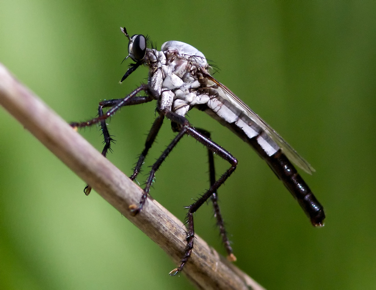 A robber fly.