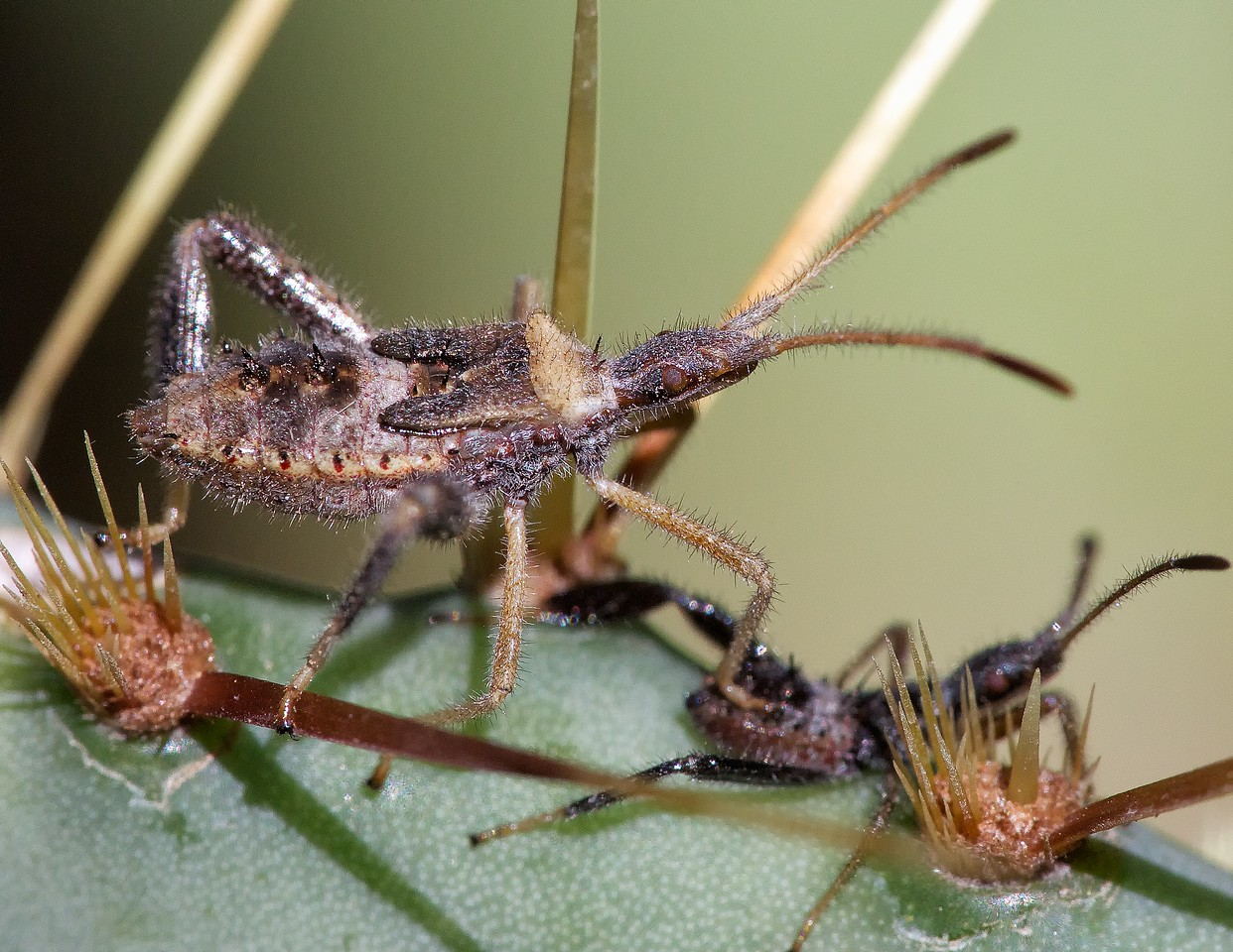 reduviid and cactus coreid