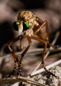 Robber flies capture prey with their legs then fly to a safe place and eat them.