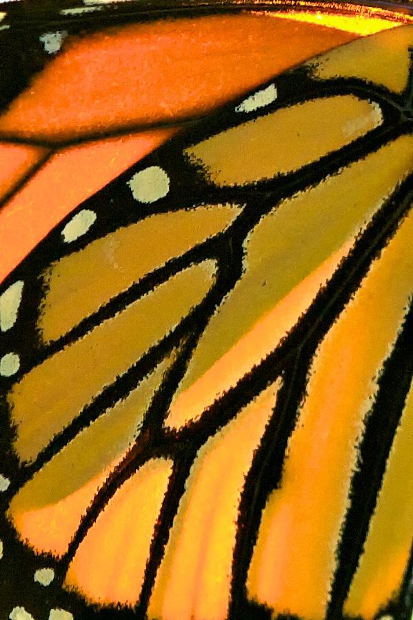 Sunlight through a monarch butterfly wing. Lepidoptera, Family Nymphalidae, Danaus plexippus.